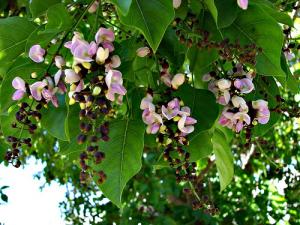 Karanja - PONGAMIA PINNATA - Ayurvedic Herb